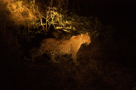leopard walking at night