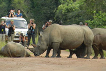rhinos crossing road before tourists