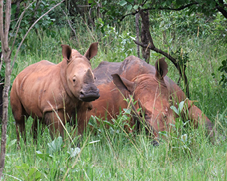 a baby rhino and its mother in the wild