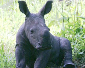 a baby rhino from rhino fund uganda
